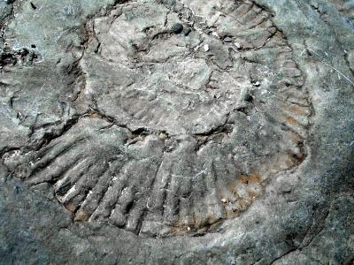 Ammonite fossil from the Jurassic period