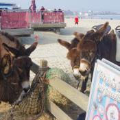 Weymouth Beach donkey rides
