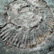 Jurassic Amonite